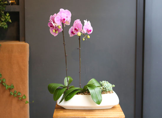 Office & nature Baby Pink orchid  **화기변경**